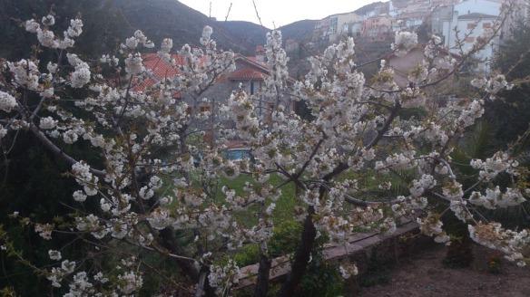 cerezos en flor en Bejís